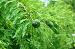 Cono del árbol de Cypress calvo (Taxodium) imagen de archivo