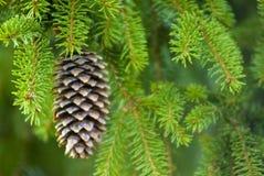 Cono del pino Immagini Stock