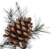 Cono del pino Immagini Stock Libere da Diritti