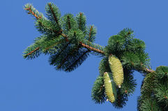 Cono del pino Immagine Stock
