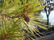 Cono del pino Fotos de archivo