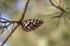 Cono del pino Imagen de archivo libre de regalías