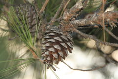 Cono del pino Fotografia Stock