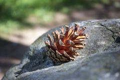 Cono del pino Imágenes de archivo libres de regalías