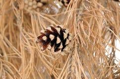 Cono del pino Imagenes de archivo