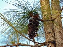 Cono del pino apenas que cuelga adentro allí fotografía de archivo libre de regalías