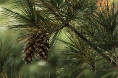 Cono del pino con el fondo borroso Fotos de archivo libres de regalías