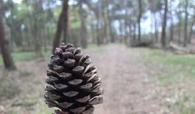 Cono del pino con los árboles borrosos en fondo Imagen de archivo libre de regalías