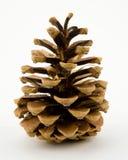 Cono del pino de la conífera Foto de archivo