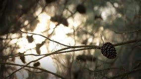 Cono del pino de piedra metrajes