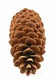 Cono del pino del azúcar Fotos de archivo