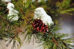 Cono del pino del invierno Fotos de archivo libres de regalías