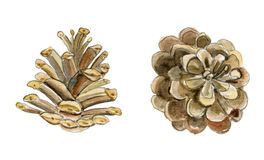 Cono del pino Ejemplo pintado a mano de la acuarela en el fondo blanco Fotografía de archivo libre de regalías