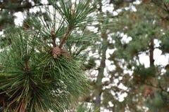 Cono del pino en árboles de pino Foto de archivo libre de regalías