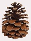 Cono del pino en el fondo blanco Imagenes de archivo
