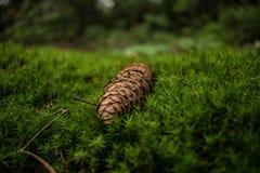 Cono del pino en el MOS Fotos de archivo libres de regalías