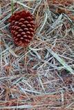Cono del pino en el piso del bosque Fotos de archivo