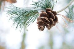Cono del pino en la ramificación con nieve