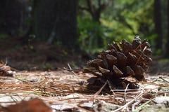 Cono del pino en la tierra Fotografía de archivo