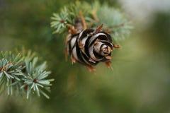 Cono del pino en picea azul Foto de archivo libre de regalías