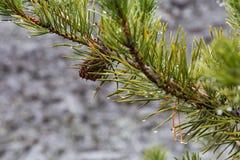 Cono del pino en rama de árbol Fotografía de archivo libre de regalías