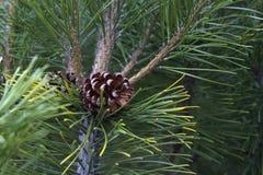Cono del pino en una rama en el bosque Imagen de archivo libre de regalías