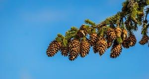 Cono del pino en una ramificación Imagen de archivo libre de regalías