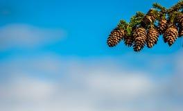 Cono del pino en una ramificación Foto de archivo libre de regalías