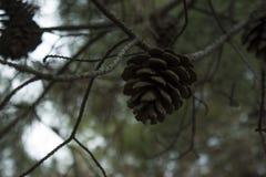 Cono del pino que cuelga en la ramificaci?n fotos de archivo