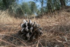 Cono del pino que pone en la tierra en bosque del olivo fotos de archivo