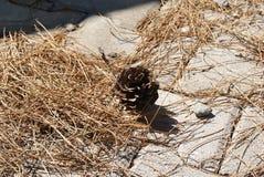 Cono del pino rodeado por las agujas del pino fotografía de archivo libre de regalías