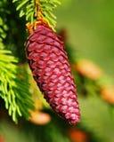 Cono del pino rojo Fotografía de archivo