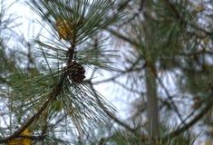 Cono del pino su una filiale Immagine Stock