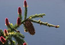 Cono del pino su una filiale Fotografia Stock Libera da Diritti