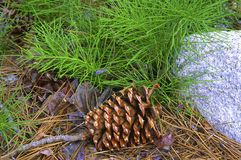 Cono del pino sul pavimento della foresta Fotografia Stock Libera da Diritti