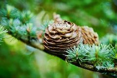 Cono del pino y fondo del árbol del árbol de hoja perenne Imágenes de archivo libres de regalías
