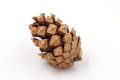 Cono della conifera Immagini Stock