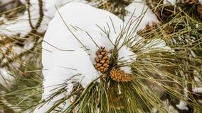 Cono della conifera coperto di neve Fotografie Stock