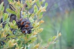 Cono di serrata di Banksia e nuova crescita dopo un incendio di arbusti immagini stock