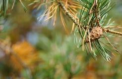 Cono en un árbol de pino Fotos de archivo