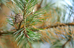 Cono en un árbol de pino Imágenes de archivo libres de regalías