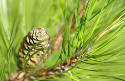 Cono en un árbol de pino Imagen de archivo libre de regalías