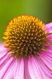 Cono-flor Imagen de archivo libre de regalías