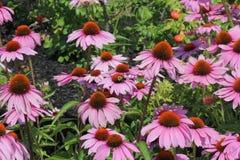 Cono Flor-púrpura con la abeja Foto de archivo