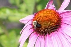 Cono Flor-púrpura con la abeja Imagen de archivo libre de regalías