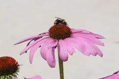 Cono Flor-púrpura con la abeja Fotografía de archivo