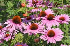 Cono Flor-púrpura con la abeja Foto de archivo libre de regalías