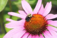 Cono Flor-púrpura con la abeja Imagen de archivo