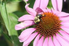 Cono Flor-púrpura con la abeja Fotos de archivo libres de regalías