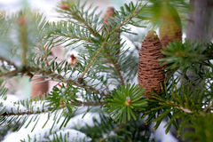 Cono grande del pino Foto de archivo